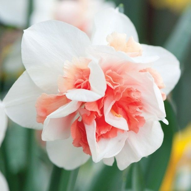 Narcisse Rosy Cloud