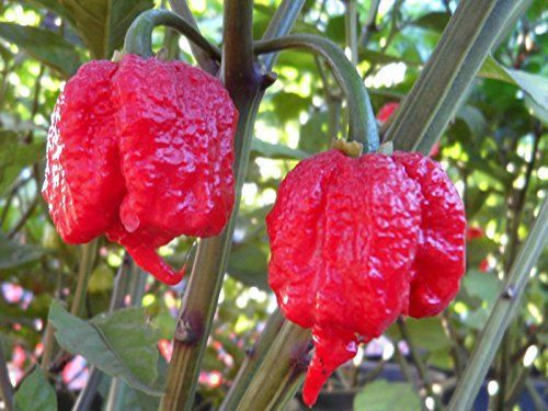 Two live Carolina Reaper pepper plants available on our Etsy store.Carolina Reapers rate approximately 2.2 million on Scoville Heat Index so please use caution when handling these peppers. They burn on the inside and out!