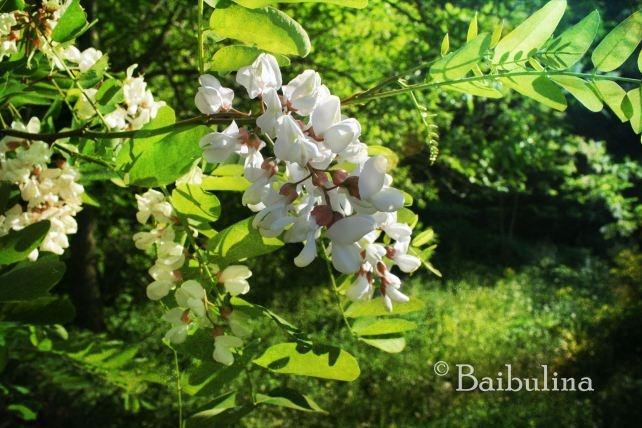 white locust tree
