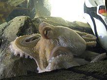 Oktopus-Orakel Paul mit Schuh.JPG