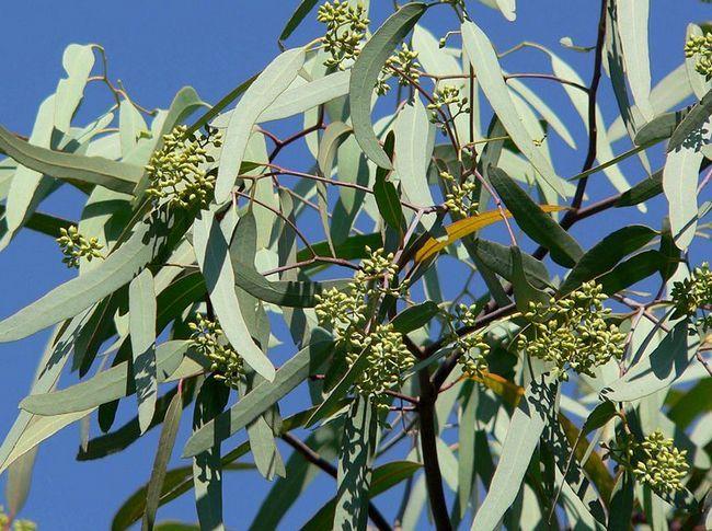 Descubren oro en hojas de árboles de eucalipto