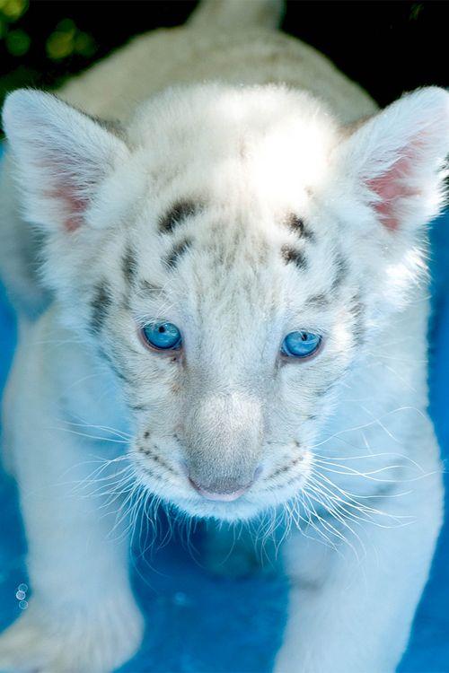 Blue eyed white tiger