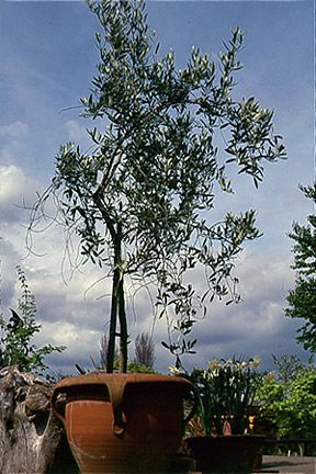 86 best fruit trees grown in pots images on pinterest for Olive trees in pots winter care