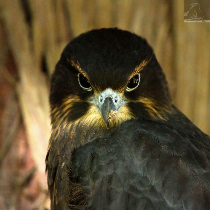 Maureen – a female New Zealand falcon; one of three falcons released into an urban setting as part of 'On The Wing' – a joint initiative of Wingspan and the Rotorua Museum...