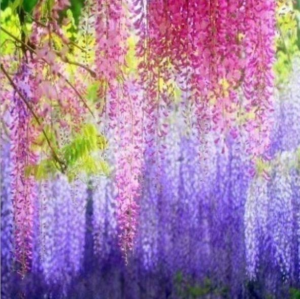 10 Pcs Wisteria Sinensis Wisteria Purple Flowers Violacea Plena Vine Graines Garden Lyj In 2020 Flower Seeds Purple Flowers Wisteria