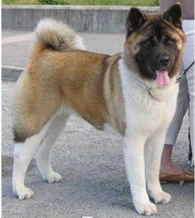 Американская Акита (Акита Матаги или Большая Японская Собака)