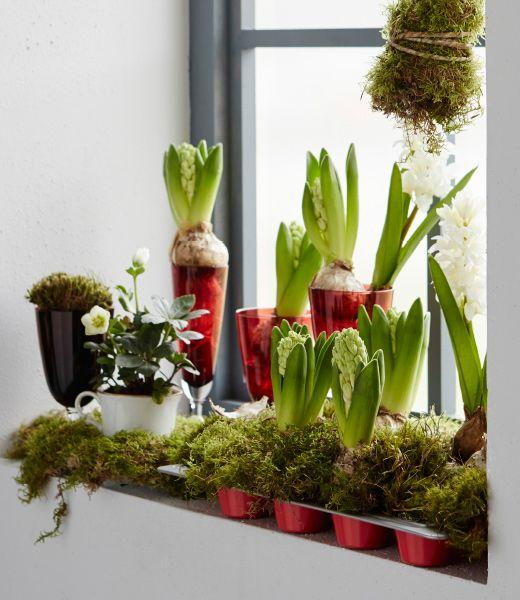 Eine weihnachtlich dekorierte Fensterbank mit DRÖMMAR Muffinform in Rot dekoriert mit Moos und Hyazinthen, dazu ein paar hübsche Gläser.in and decorative glasses.