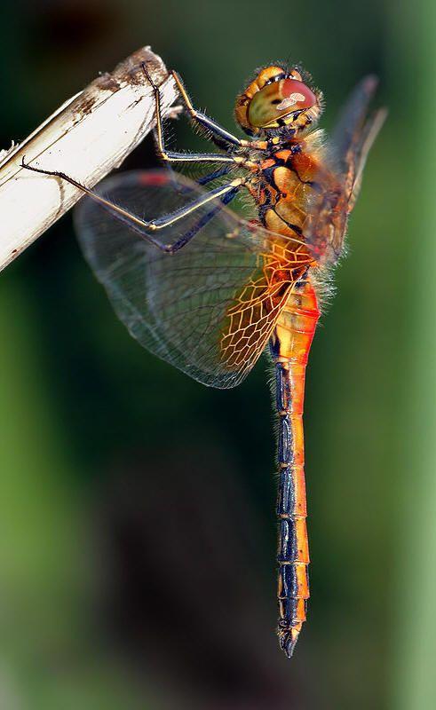 the Brooksville Garden Çlub bug of the month