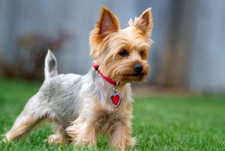"""Lucy's haircut style, with a little more """"schnauzer skirt"""" and a darker blue to her silver on her back."""