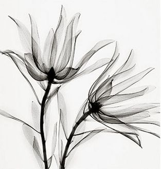 """Galerie BMG is pleased to present this exquisite collection of black and white botanical photographs, focusing on the hidden secrets of nature. By using x-rays instead of light, Steven Meyers reveals an unusual """"inner-vision"""", showing the natural textures, details, and shadows that would otherwise not be seen."""