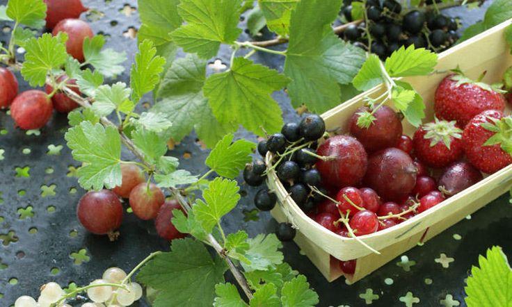 La culture des petits fruits fait partie des plaisirs simples du jardinage. Leur culture est simple comme bonjour.