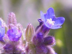 Anchusa officinalis Alkanet, Common bugloss