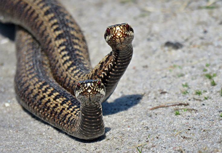 Tweelingen  - Reptielen en amfibieën - Adder