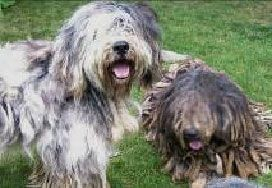 Bergamasco added to the AKC list of recognized breeds along with 3 others
