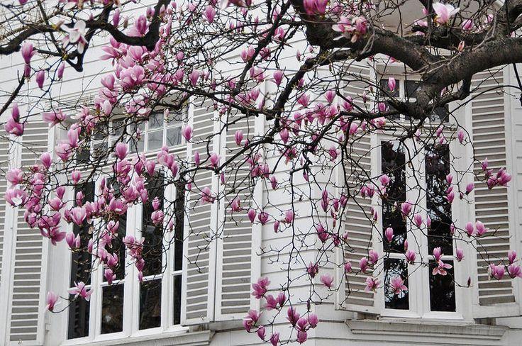 magnolias   İSTANBUL <3 <3 <3