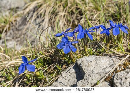 Spring flowers (Spring gentian, Gentiana verna L.) on a natural position