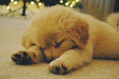 Golden Retrievers * sleepy time