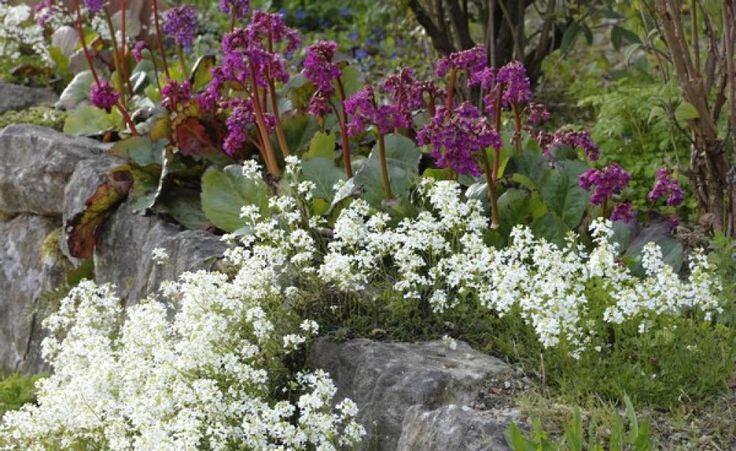Im Frühjahr blühen weiße Schaumkresse (Arabis procurrens 'Neuschnee') und rosafarbene Bergenie (Bergenia 'Abendglut') zwischen den Steinen