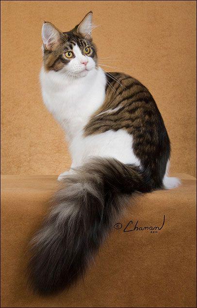 #MaineCoon #Black #Tabby #Mackerel #White #Cats GRC, RW DEWISPLEAR JULIEN MAYFAIR
