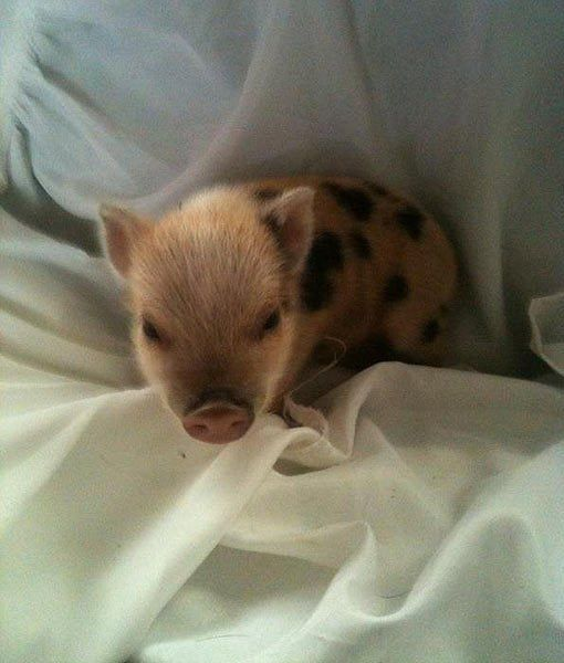 9. Give your teacup pig blankets.