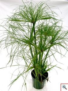 Cyperus Papyrus - Cyperus Grass  King Tut plant..love this in the center of a planter surrounded by colorful annuals!