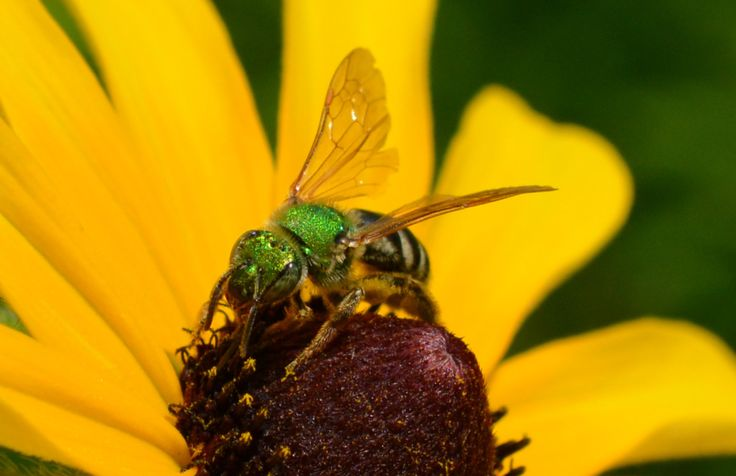Sweat Bees – Native Beeology