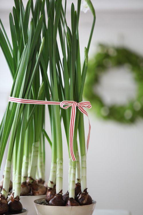 indoor gardening - green onion! Easy.