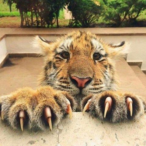 Tigre #felinos #bigcats #crazycatlady