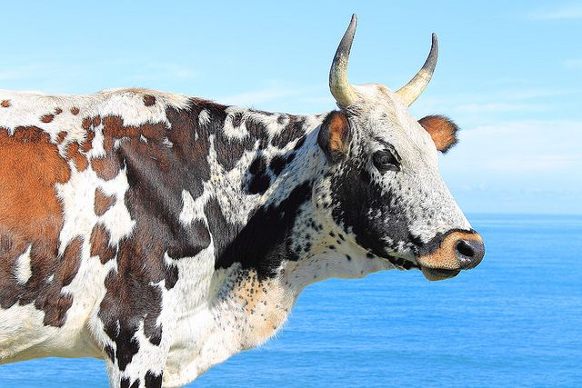 Nguni cattle, each one is different