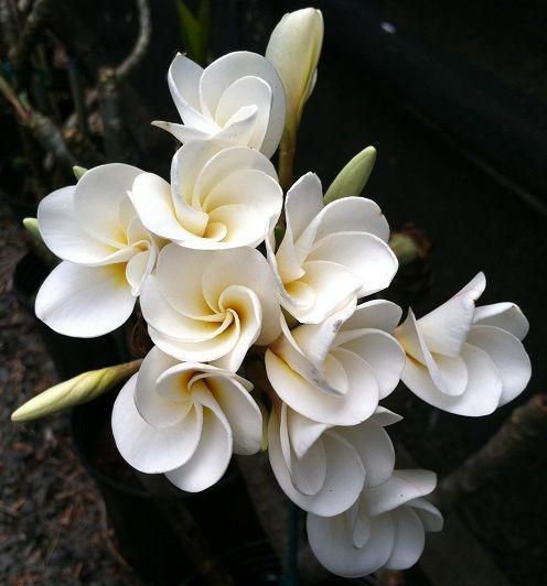MINI WHITE  ~ GARDENIA FRAGRANCE