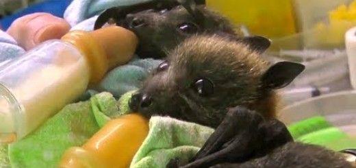 Cuccioli di pipistrello