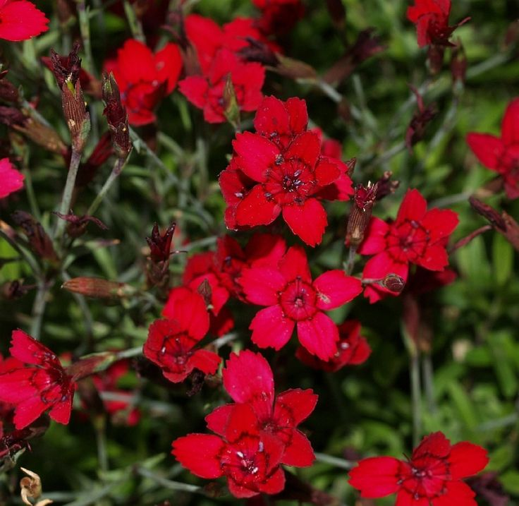 nelken-garten-pflanzen-heidenelke-rot-farbwahl-terrassengestaltung