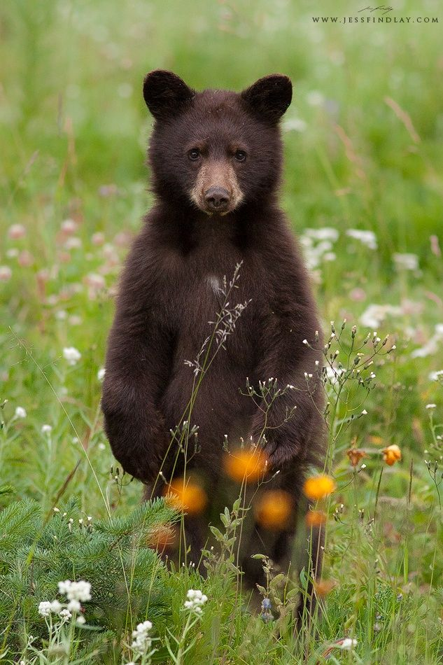 """""""Cinnamon Cub"""" - photo by Jess Findlay, via 500px;  A cinnamon Black Bear cub breaks from gorging on wildflowers and strawberries to take a look at [the photographer] in the mountains of Manning Provincial Park, British Columbia, Canada."""