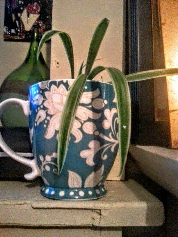 Spider plant clipping in vintage mug