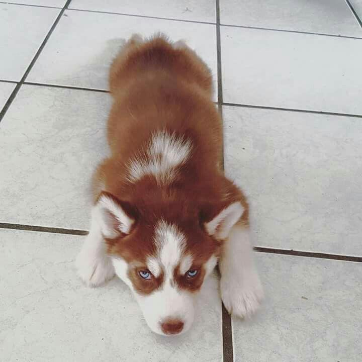 Red husky blue eyes