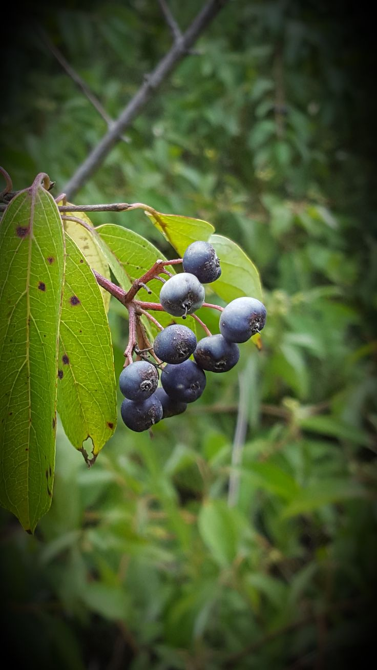 The berries of Cornus amomum or Silky Dogwood can be blue or cream coolored and are favored by birds. The stems of the cultivar 'Cayenne' are known for their brilliant red winter color. http://www.grimmsgardens.com/shop/cayenne-dogwood/