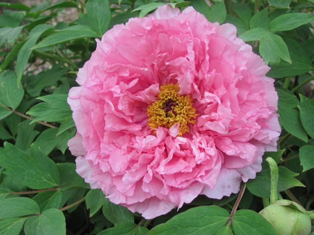 Tree Peony 'Hibiscus with a Pink Complexion': Pink Complexion, Gardens Flowers, Chinese Trees, Trees Peonies, Pink Trees, Favorite Gardens, Peonies Hibiscus, Double Pink, Gardens Plants