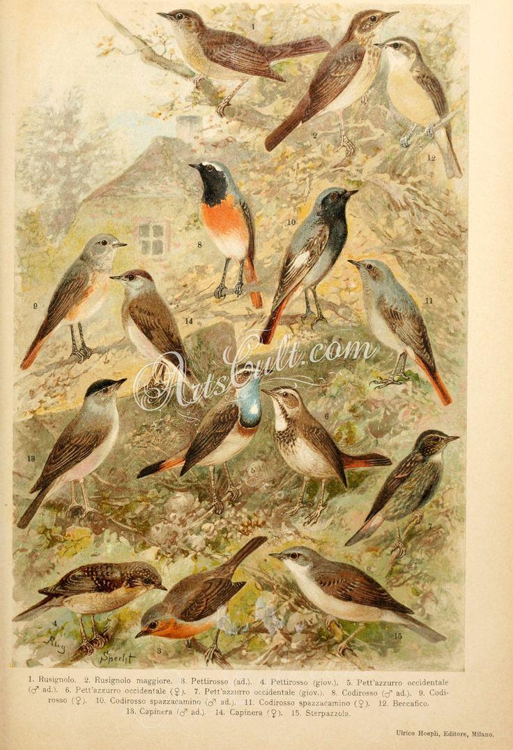 034-Thrush nightingale, Thrush Nightingale, European Robin, Whitespotted-Bluethroat, Redstart, Black Redstart, Garden Warbler, Eurasian Blackcap, Common Whitethroat      ...
