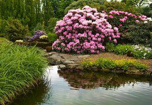 Hortensia er en gave til haveejere. Giv dem den rette fugtige jord, så eksploderer haven i farvestrålende blomsterskærme. Og hvis du får lyst, kan du også forvandle farven på dine Hortensia'ers blomster ved at ændre på gødning og grobund.