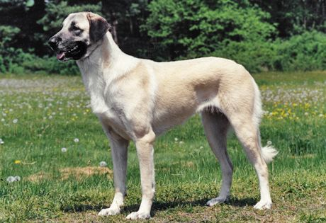 #Anatolian #Shepherd: Bred to make independent decisions while working, owner commands may not be followed to the letter, but the Anatolian is trainable. Regular exercise and grooming is necessary. Should be supervised around children.
