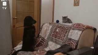 Смотреть онлайн видео Funny pets 2015/Кошки против собак/Cats vs Dogs/Смешные животные 2015