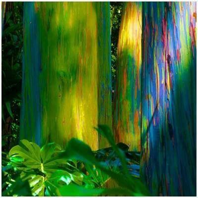 Eucalipto arcobaleno. Emisfero boreale.