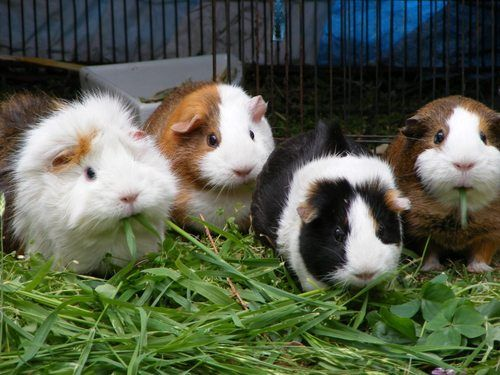 Guinea Pigs - @Jacki Linder...remember!  they stampede when startled, especially in a herd ;-)