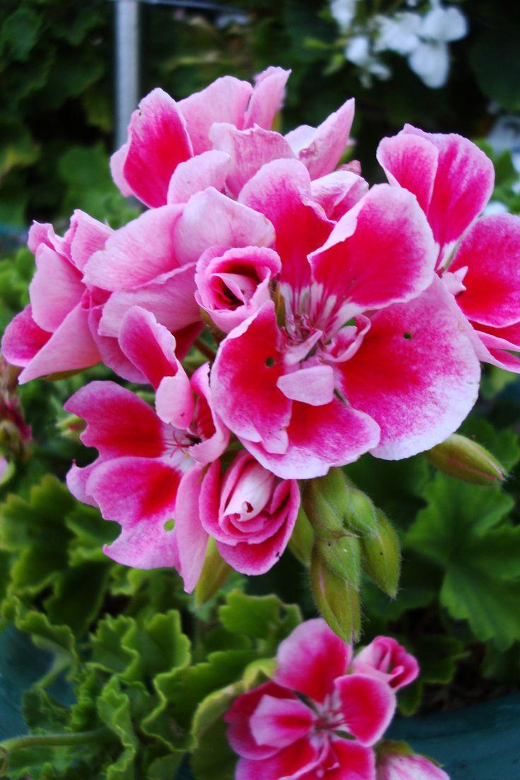 geranium @169