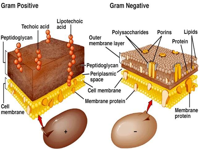 Gram negative and positive cells---This diagram displays both gram negative and gram positive cells and their cell wall composition. Having both drawings beside each other is great for comparison.