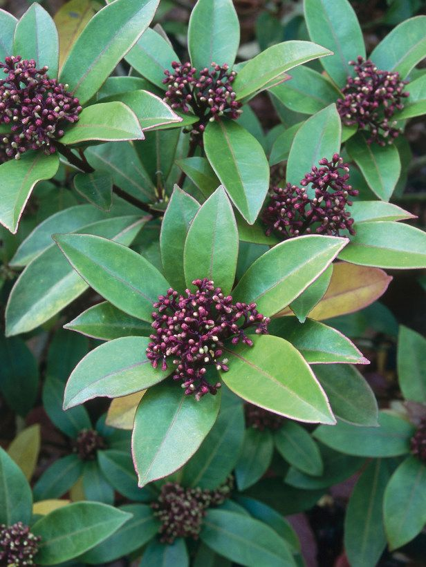 Bronze Knight (Skimmia) is an interesting shrub... vigorous growth with pretty winter buds... and it's evergreen