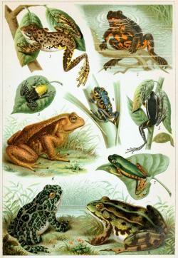 Nový výzkum prokázal, že současná biodiverzita žab má nejspíš svůj počátek v katastrofě na konci křídy. Ačkoliv i obojživelníci jako celek byli touto událostí zasaženi, v důsledku z ní nakonec některé vývojové skupiny profitovaly. Kredit: Wikipedie (volné dílo)