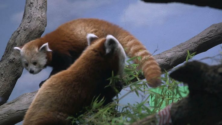 Denver Zoo in Colorado works to save red pandas from extinction