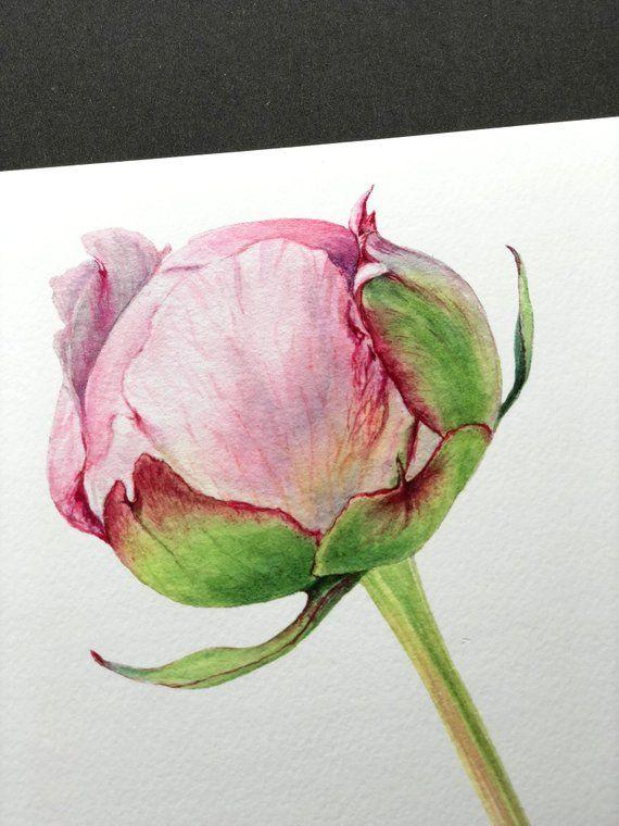 Pink Peony Bud Giclee Print Botanical Art Flower Art Etsy
