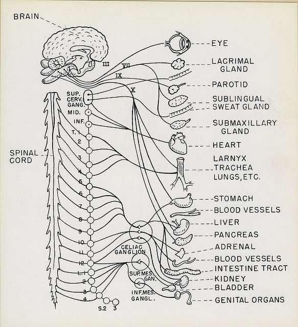 Drawings for Technical Manual, Department of Roentgenology. Army Medical  School.    anatomy